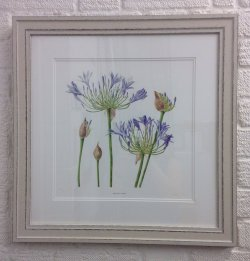 Agapanthus by Helen Hiorns (SOLD)